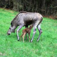 Elchmutter mit Jungen im Nationalpark Bayerischer  Wald