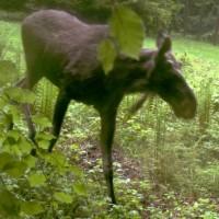 Freie Elchpopulation im Nationalpark Bayerischer Wald
